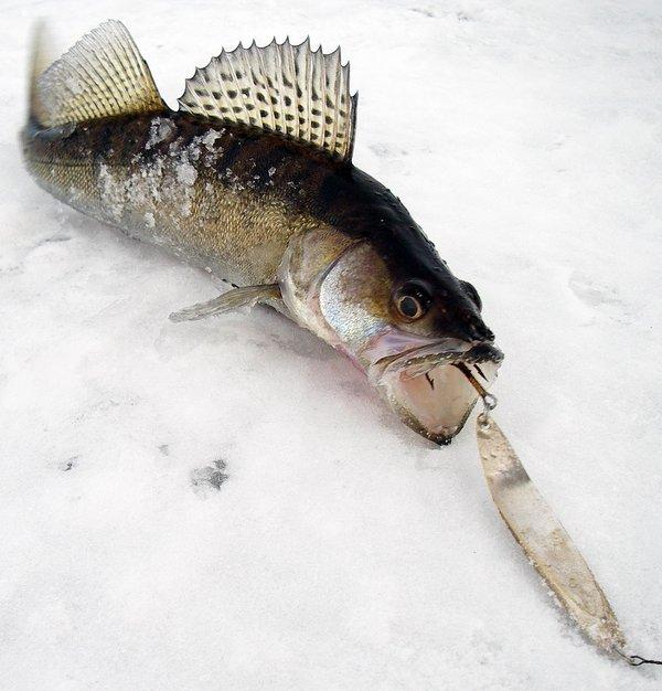 На что ловят судака на рыбинском