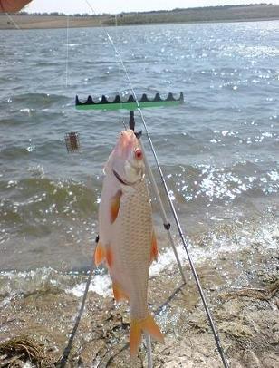 как ловить плотву с берега